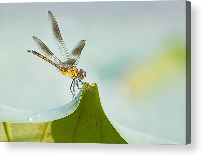 Golden Dragonfly Acrylic Print featuring the photograph Golden Dragonfly On Water Lily Leaf by Bonnie Barry