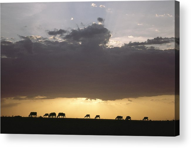 Silhouettes Acrylic Print featuring the photograph Grazing Cattle Silhouetted by James P. Blair
