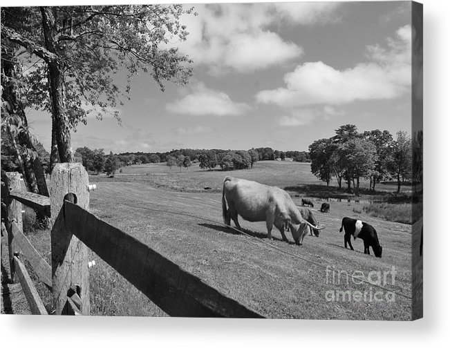 Cattle Acrylic Print featuring the photograph Grazing The Day Away by Catherine Reusch Daley