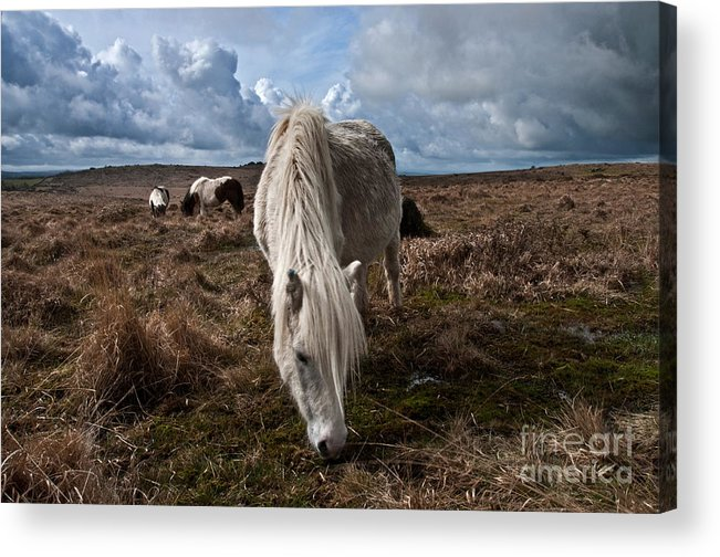Dartmoor Acrylic Print featuring the photograph Grazing The Moor by Rob Hawkins