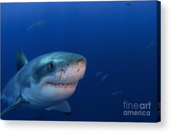 Carcharodon Carcharias Acrylic Print featuring the photograph Great White Shark, Guadalupe Island by Todd Winner