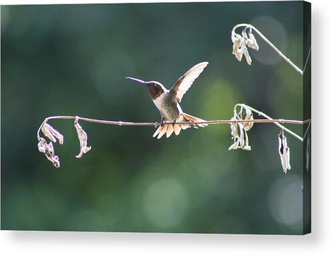 Hummingbird Acrylic Print featuring the photograph Hard To Be Still by Victoria Kurlinski