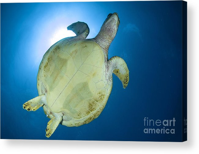 Sea Life Acrylic Print featuring the photograph Hawksbill Sea Turtle Belly, Australia by Todd Winner