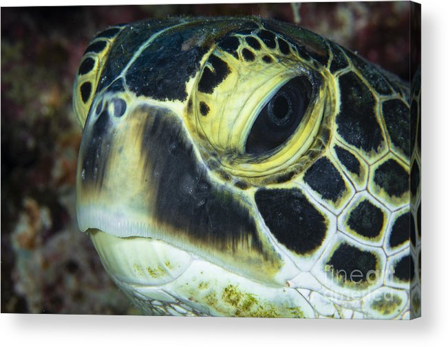 Sea Life Acrylic Print featuring the photograph Hawksbill Sea Turtle Portrait by Todd Winner