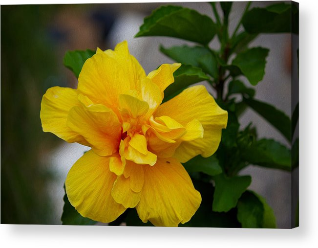 Flower Acrylic Print featuring the photograph Hibiscus by Michel DesRoches