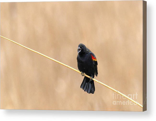 Birds Acrylic Print featuring the photograph Honey Hunting by Dennis Hammer
