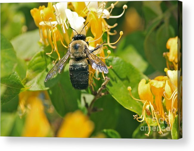 Bee Acrylic Print featuring the photograph Honeysuckle Delicacy by Bev Veals