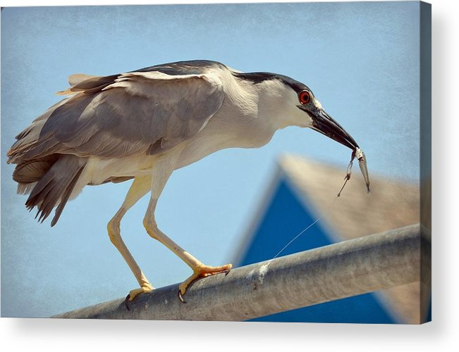 Black Crowned Night Heron Acrylic Print featuring the photograph Hook  Line  Sardine by Fraida Gutovich