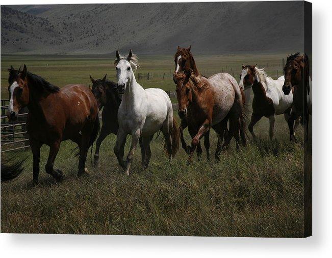 Ranch Horses Acrylic Print featuring the photograph Horses Run Free by Michael Elam