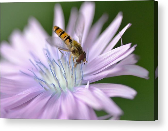 Hoverfly Acrylic Print featuring the photograph Hoverfly On Flower by Marian Heddesheimer