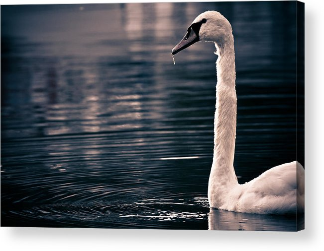 Swan Acrylic Print featuring the photograph Hungry Swan by Justin Albrecht