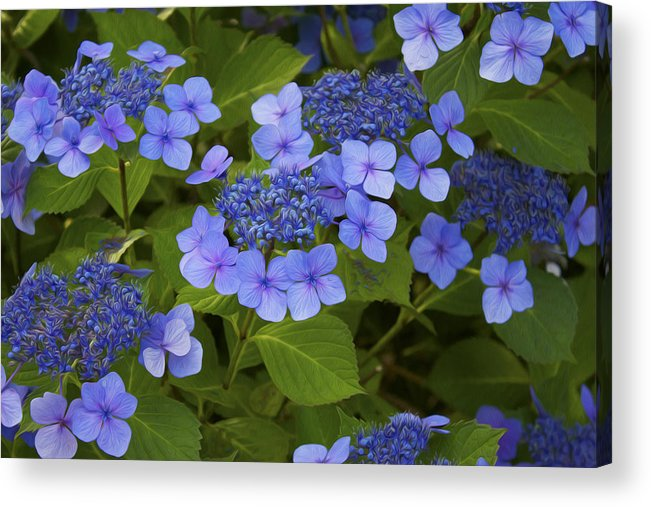 Flower Acrylic Print featuring the photograph Hydrangea Macrophylla by Michel DesRoches