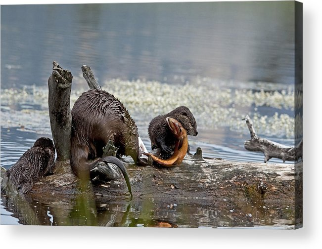 Otters Acrylic Print featuring the photograph I Got It by Eric Nelson