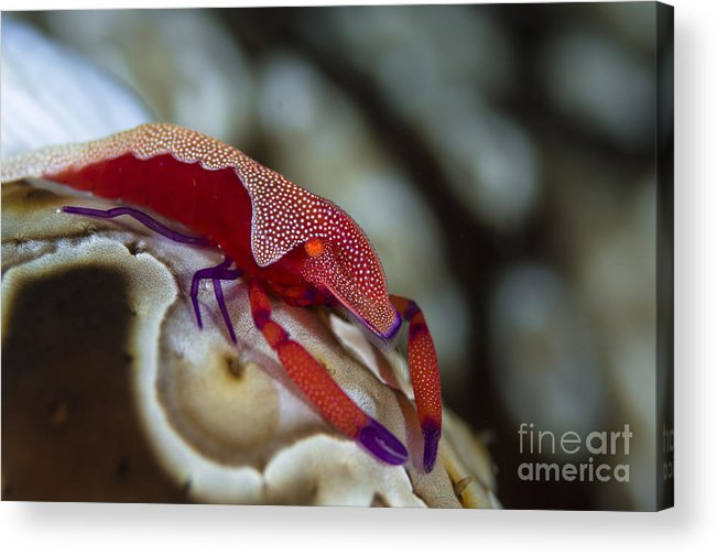 Arthropod Acrylic Print featuring the photograph Imperator Commensal Shrimp On Eyed Sea by Todd Winner