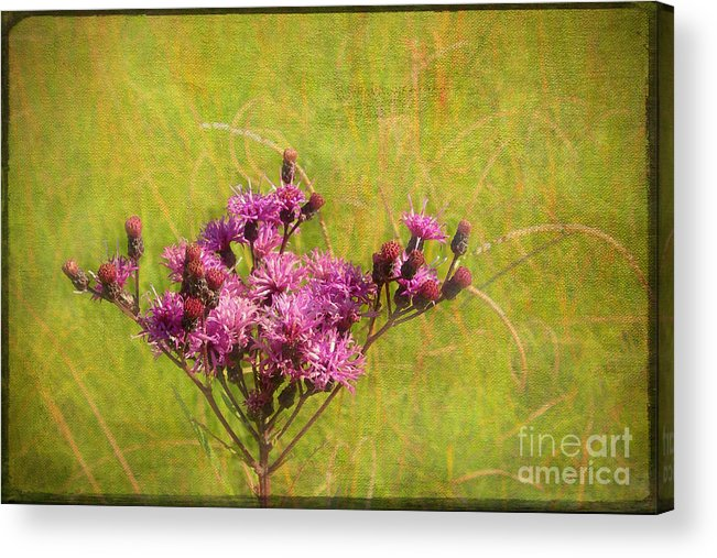 Purple Acrylic Print featuring the photograph Ironweed In Autumn by Judi Bagwell