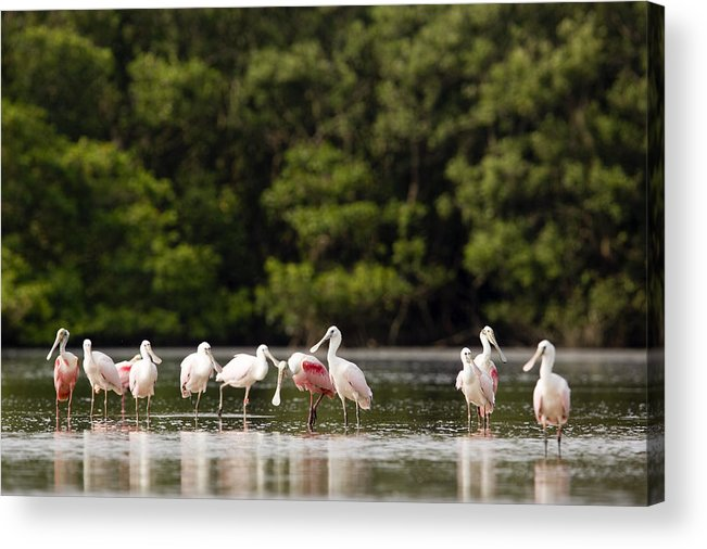 Large Group Of Animals Acrylic Print featuring the photograph Juvenile And Adult Roseate Spoonbills by Tim Laman