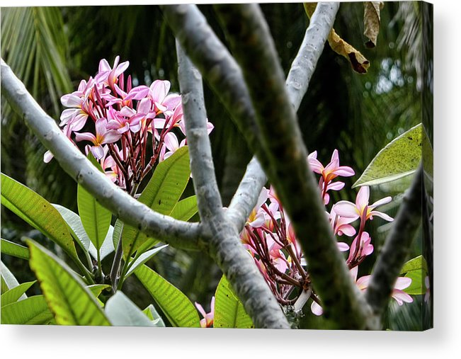Kalachuchi Flowers Acrylic Print featuring the photograph Kalachuchi Flowers by Andre Salvador