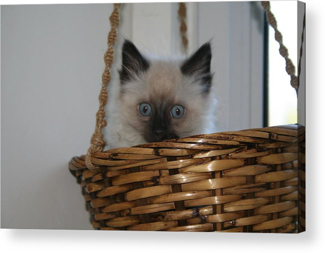 Kitten Acrylic Print featuring the photograph Kitten In Basket by Diana Poe