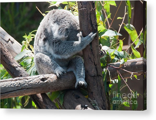 Animals Acrylic Print featuring the digital art Koala by Carol Ailles