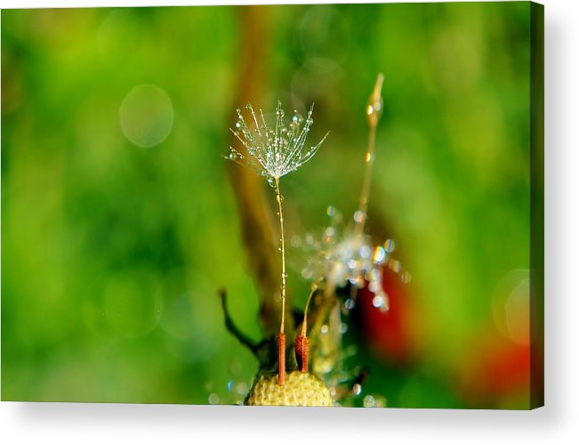 Flower; Plant; Garden; Sunlight; Nature; Macro; Dandelion; Winter; Background; Decorative; Blooming; White; Green; Brown; Dew; Droplets; Drops; Sparkle; Tears; Wet; Diamonds; Reflection; Water; Acrylic Print featuring the photograph Last One Standing by Werner Lehmann