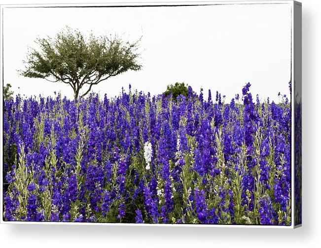 Lavender Acrylic Print featuring the photograph Lavender Field by Lisa Spencer