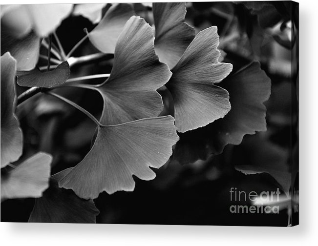 Leaves Acrylic Print featuring the photograph Ginkgo Biloba Leaves by Tanya Searcy