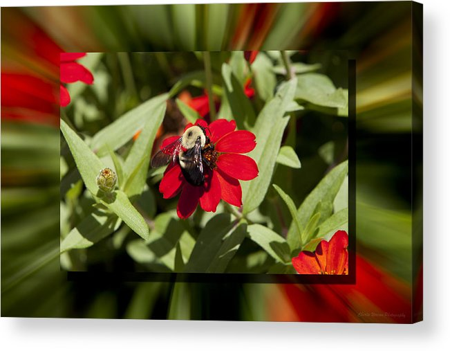 Flower Acrylic Print featuring the photograph Let It Bee by Charles Warren