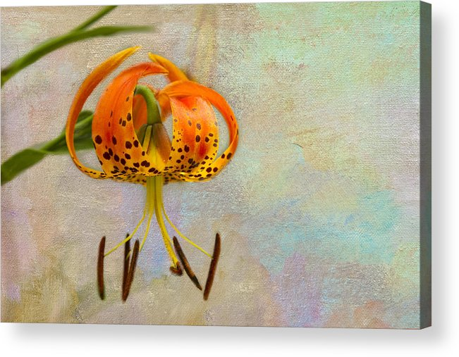 Flowers Acrylic Print featuring the photograph Lilium Pardalinum by Marilyn Cornwell