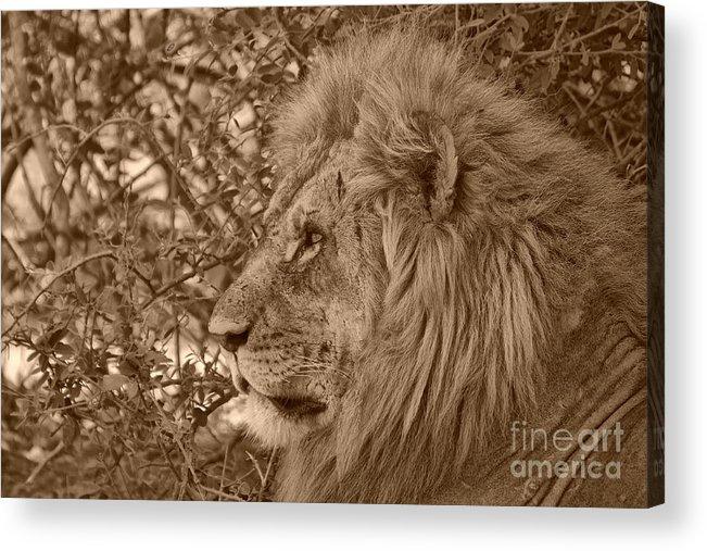 Lions Acrylic Print featuring the photograph Lion Of Chobe by Mareko Marciniak
