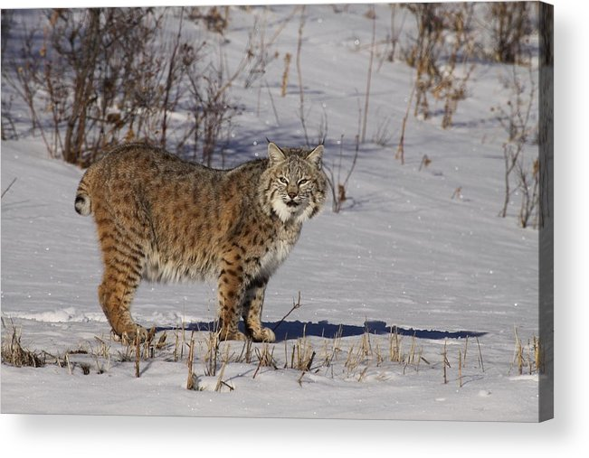 Cat: Wildlife: Lynx: Usa: Minesota: Nature: Snow: Winter: Snow Scene: Acrylic Print featuring the photograph Lynx In Winter by Vic Sharratt