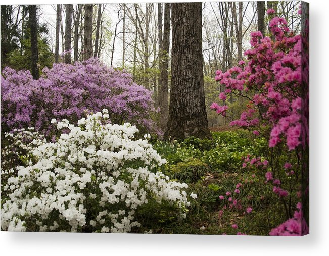 Azalea Acrylic Print featuring the photograph Magical Azaleas At Callaway Botanical Gardens by Kathy Clark