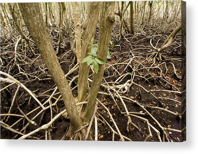 Nobody Acrylic Print featuring the photograph Mangrove Forest With Red Mangrove by Tim Laman