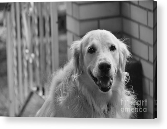 Pets Acrylic Print featuring the pyrography Mans Best Friend by Nick Scott