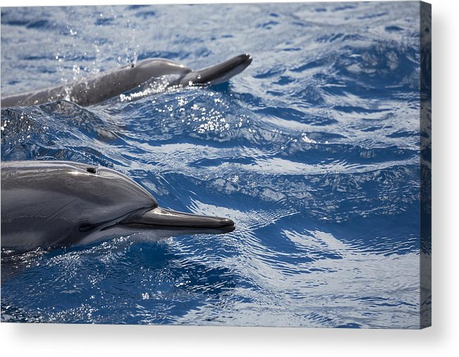 Air Acrylic Print featuring the photograph Maui Spinner Dolphins by Dave Fleetham