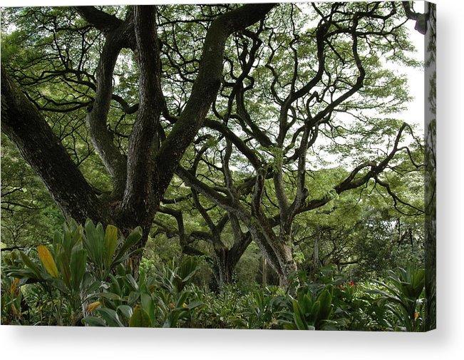 Monkeypod Tree Acrylic Print featuring the photograph Monkeypod Trees II by Kathy Schumann