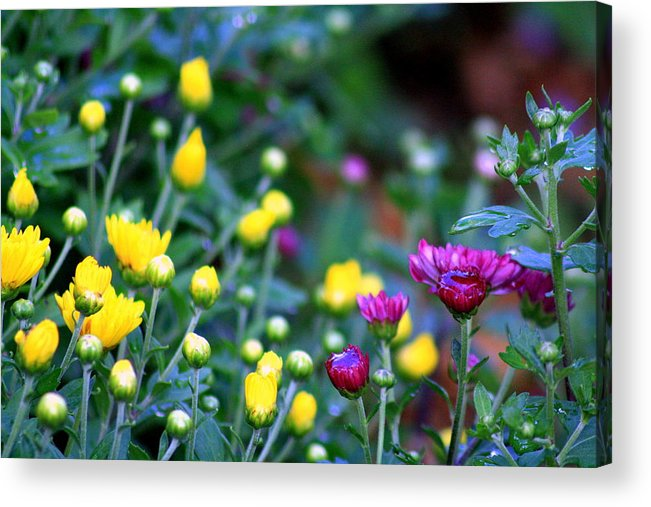 Flowers Acrylic Print featuring the photograph Morning Rain by LC Linda Scott