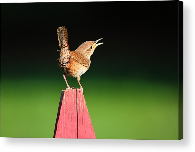 House Wren Acrylic Print featuring the photograph Morning Song by Ruthie Lombardi