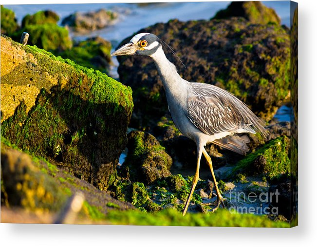 Bird Acrylic Print featuring the photograph Morning Stroll by John Stanisich