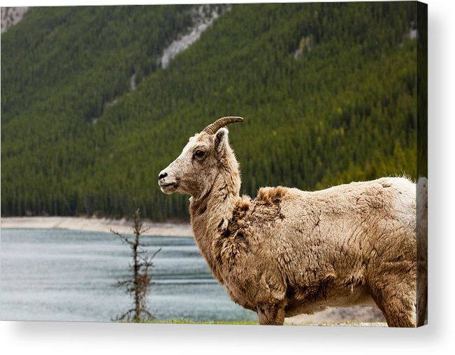 Canadian Rockies Acrylic Print featuring the photograph Mountain Sheep 1639 by Larry Roberson