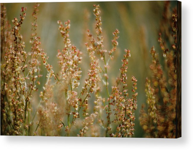 Mountain Sorrel Acrylic Print featuring the photograph Mountain Sorrel by One Rude Dawg Orcutt