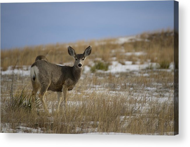 Mule Deer Doe Acrylic Print featuring the photograph Mule Deer Doe by Tim Bjerk