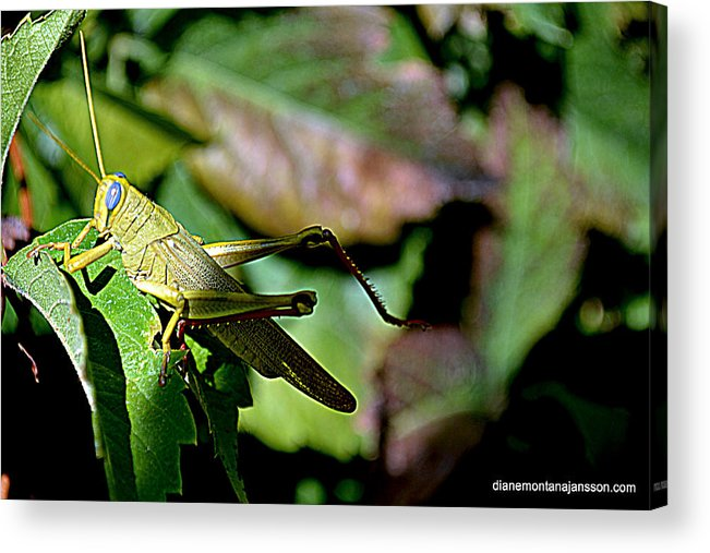 Grass Hopper Acrylic Print featuring the photograph My Best Side by Diane montana Jansson