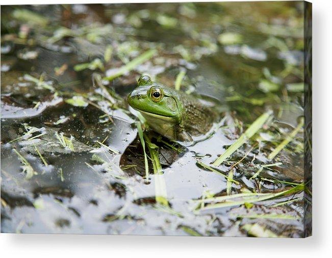 Alone Acrylic Print featuring the photograph New Hampshire Frog by Jenna Szerlag