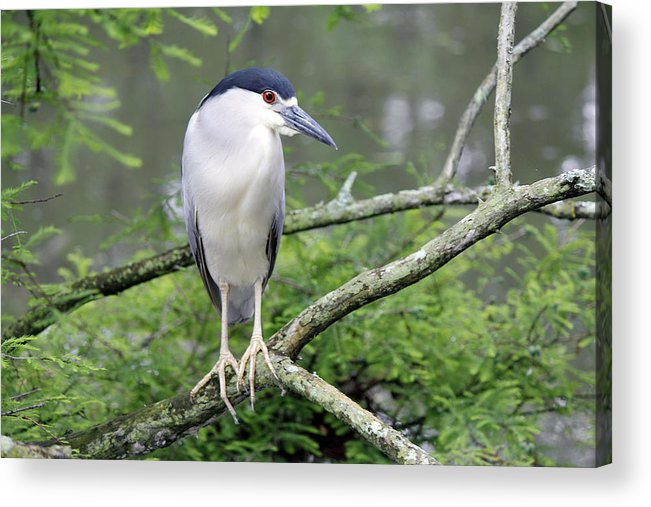Night Heron Bird Acrylic Print featuring the photograph Night Heron On Branch by Jackie Briggs