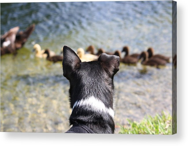 Dogs Acrylic Print featuring the photograph Oh He Wants To Play With Ducks by Andrea OConnell