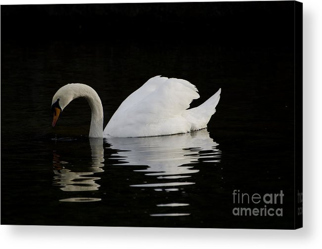 One Swans Acrylic Print featuring the photograph One Swan by Mats Silvan