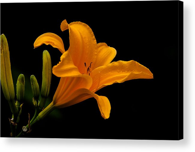 Lilly Acrylic Print featuring the photograph orange Lilly by Craig Lapsley