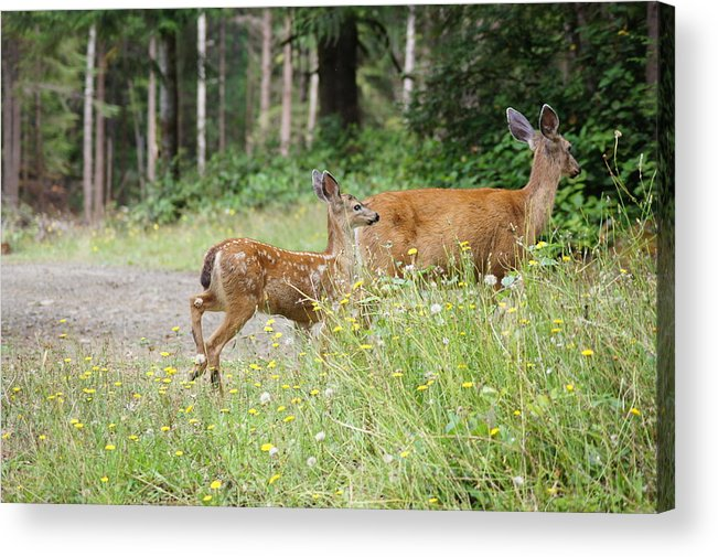 Deer Acrylic Print featuring the photograph Out For A Walk by Angi Parks