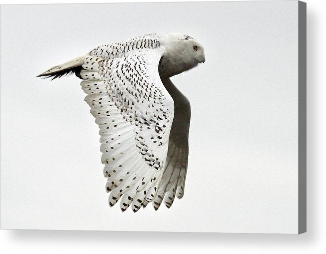 Snowy Owls Acrylic Print featuring the photograph Owl In Flight by Pierre Leclerc Photography
