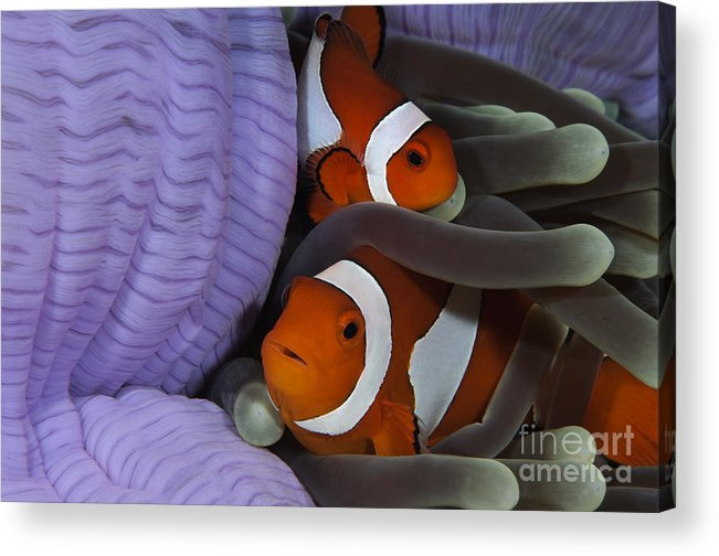 Osteichthyes Acrylic Print featuring the photograph Pair Of Clown Anemonefish, Indonesia by Todd Winner